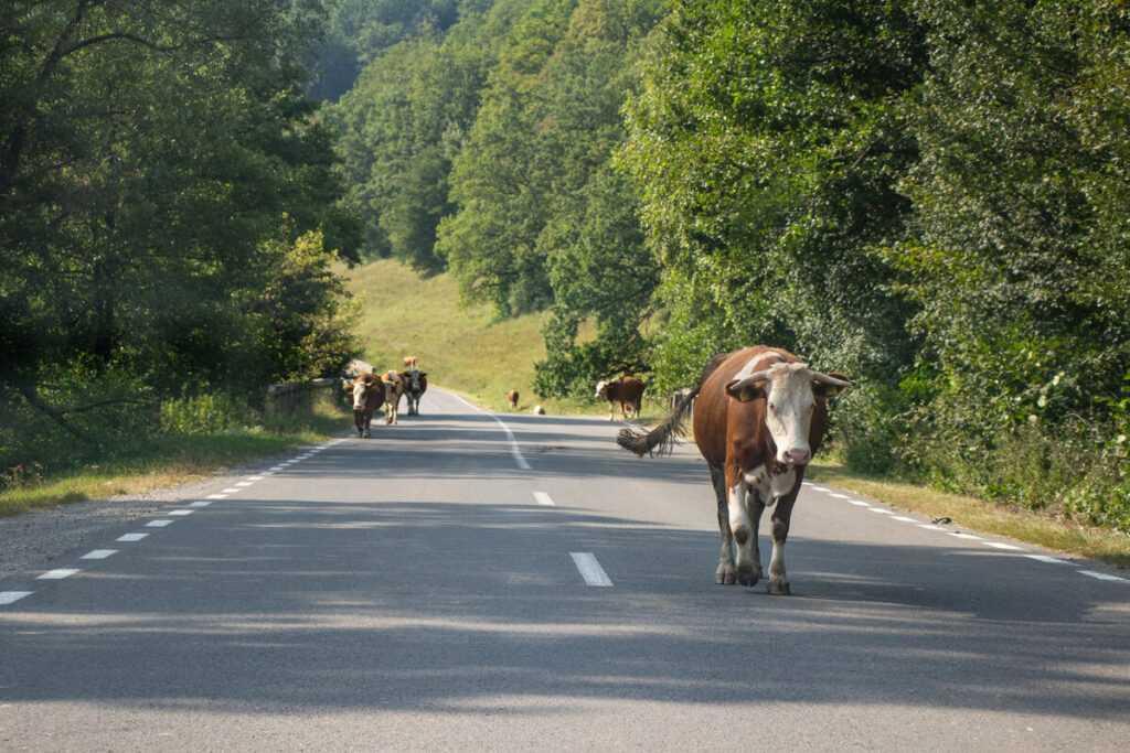 Последствия для водителя при ДТП с животными